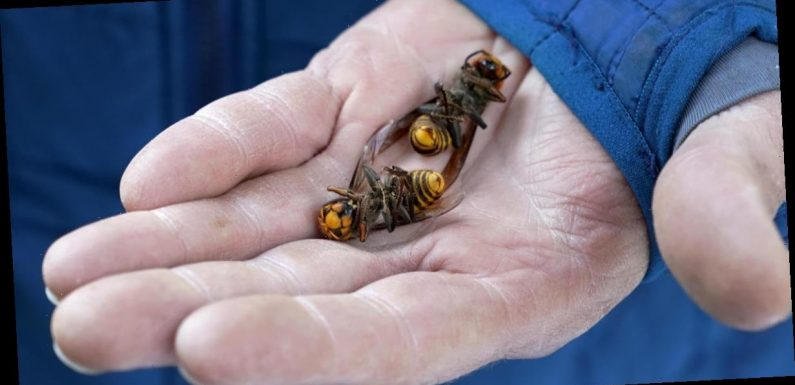 """Scientists kill 85 """"murder hornets"""" and capture 13 alive: """"This is only the start"""""""