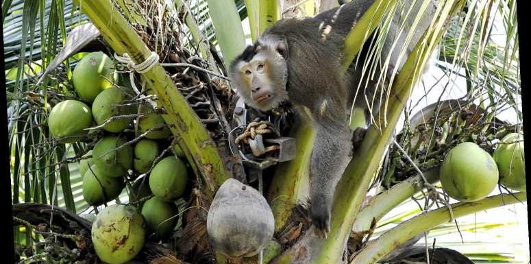 Amid Claims of Forced Monkey Labor, Grocery Stores Drop Coconut Milk Brand