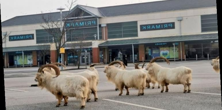 Primark sees invasion from goats in Wales 'Surreal!'