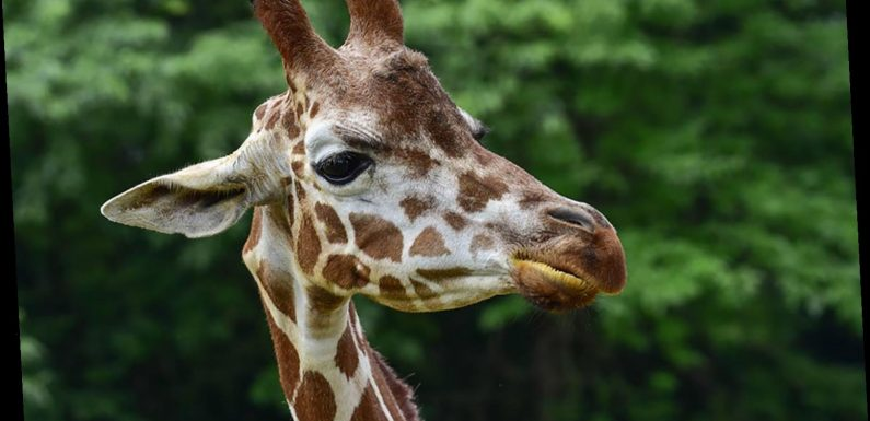 8-Year-Old Giraffe at Maryland Zoo Unexpectedly Dies: 'We Are Devastated'