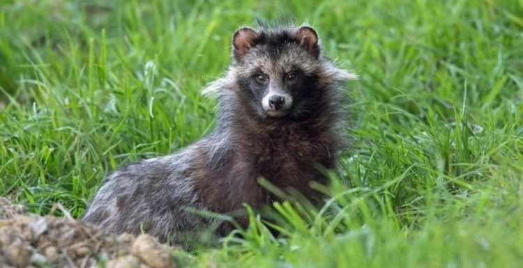 What is a Raccoon dog? Species could become 'invasive' in UK