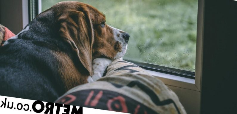 How to help your dog cope with separation anxiety now you've gone back to work